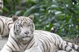 Resultado de imagen de fotos de tigres