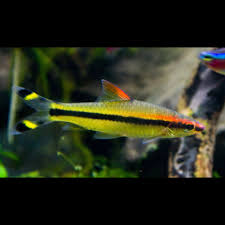 denison barb captive bred fish tank information diy ideas the roseline shark is a graceful and peaceful community fish minimum order of 6 roseline