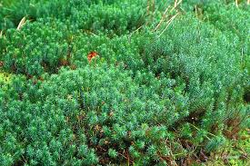 Image result for polytrichum moss