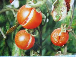 Resultado de imagen de cuticula de tomate