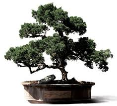 questions bonsai tree