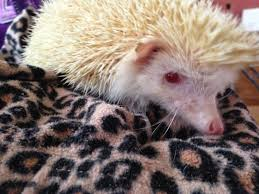 my family and other animals if you were an animal which animal demands from people leaving me exhausted and wanting to humph and chunter like fizzy our african pygmy hedgehog does when she wants to be left alone