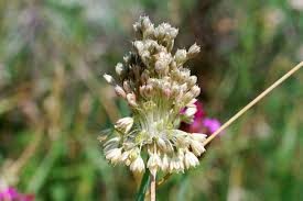 Allium tenuiflorum - Pallano
