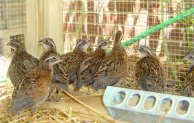 Quail Pen Chicken Coop Plans   North Carolina Garden Coop     Coop    Bobwhite quail in house built from The Garden Coop plans