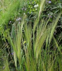 Stipa capensis (Common Awn Grass) : MaltaWildPlants.com - the ...