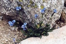 Myosotis corsicana subsp. corsicana