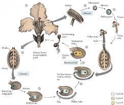 plant life cycleangiosperm life cycle