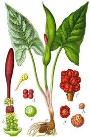 Arum maculatum - Wikipedia, la enciclopedia libre