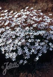 Silene alpestris: Specialty Perennials - Flower Seeds
