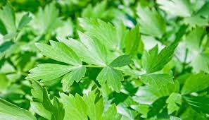 Image result for edible Lovage