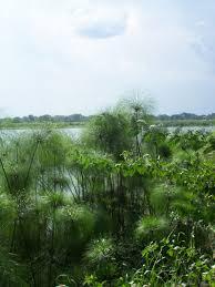 Cyperus papyrus - Wikipedia
