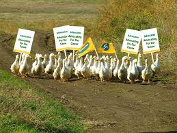 advocacy ducks if it looks like a duck walks like a duck and quacks like a duck is it a duck are these ducks or geese