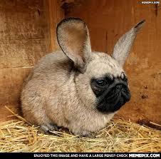Looks like my French Bulldog has gotten in to the bunny cage again ... via Relatably.com