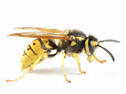 Image result for wasps on wood