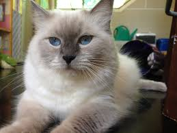 affinity ragdolls ragdoll breeder sydney nsw seal point kitten