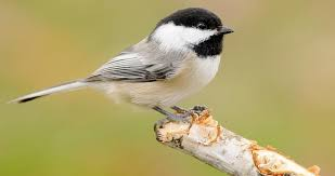 <b>Black</b>-capped Chickadee Identification, All About Birds, Cornell Lab ...