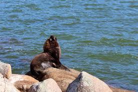 Leão-marinho é monitorado por especialistas na Lagoa da Conceição, em Florianópolis; FOTOS