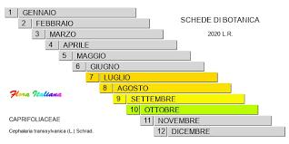 Cephalaria transsylvanica [Vedovina maggiore] - Flora Italiana