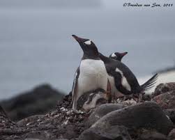 penguins a photo essay brendan s adventures penguin chicks a penguins attachment and need to care for their young is