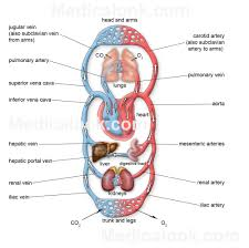 routes of circulation human anatomy organs routes of circulation