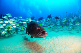 photo essay once barren a protected reef in now teems endangered gulf groupers thrive in cabo pulmo credit leonardo gonzalez shutterstock