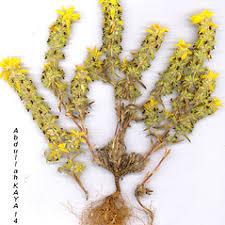 Sideritis montana (mountain ironwort): Go Botany