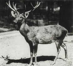 What Happened to the Schomburgk's <b>Deer</b>? – <b>Cool</b> Green Science