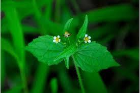Plants Profile for Galinsoga quadriradiata (shaggy soldier)