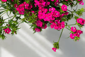 <b>Sweet</b> William | <b>Funny how</b> flowers do that