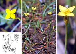 Cicendia filiformis (L.) Delarbre - Guida alla flora degli stagni ...