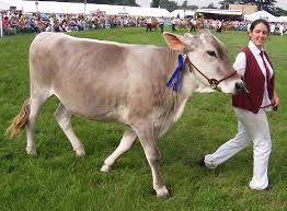 Brown Swiss cattle