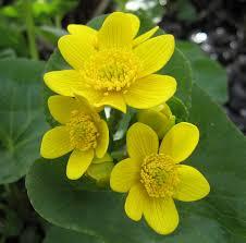 Image result for marsh marigold