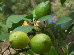 lemon tree x: filevm  stratford lemon tree fruitjpg