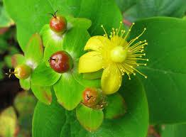 Hypericum androsaemum - Wikipedia