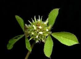 Trifolium glomeratum - Wikipedia