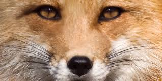 Image result for foxes