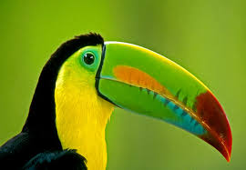 Image result for beautiful toucan