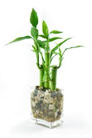 feng shui peace and harmony adding a lucky bamboo plant to your home or office can bring a bringing feng shui office