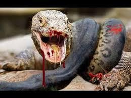 Resultado de imagem para foto ou imagem de um dragão de Komodo