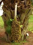 Images & Illustrations of babassu palm