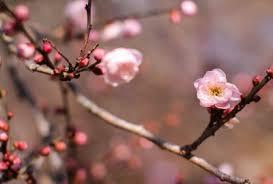 「プラム 花 フリー」の画像検索結果