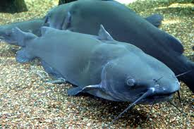 Image result for catfish