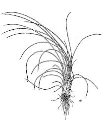 Isoetaceae