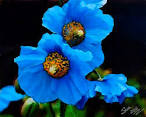 Images & Illustrations of blue poppy