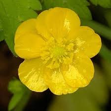 Image result for buttercups
