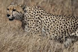 worldbirder cheetah photo essay today it is estimated that only around 200 remain one of the main reasons seems to be the increasing population of lions the