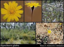 Hypochaeris glabra L.: FloraBase: Flora of Western Australia