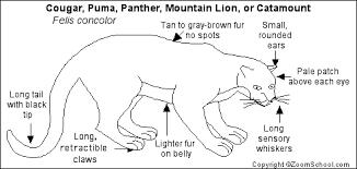 cougar printout  enchantedlearning com