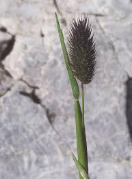 Phleum alpinum - Wikipedia
