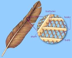 Image result for blue feather barbules diagram